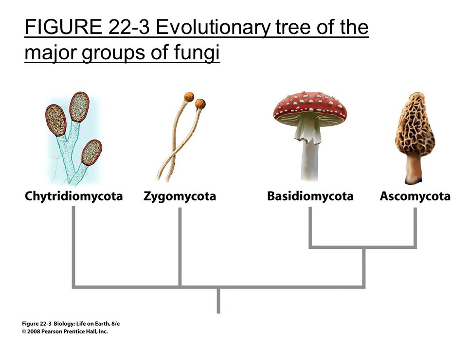 FIGURE 22-3 Evolutionary tree of the major groups of fungi