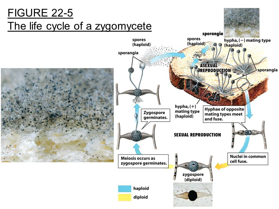 The life cycle of a zygomycete