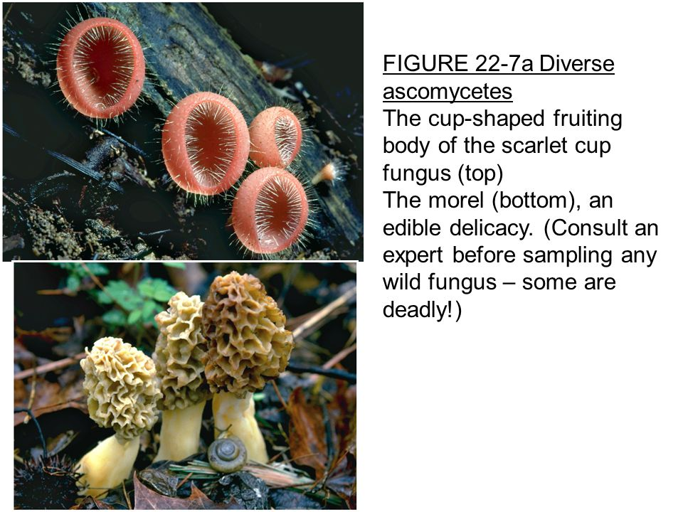 FIGURE 22-7a Diverse ascomycetes