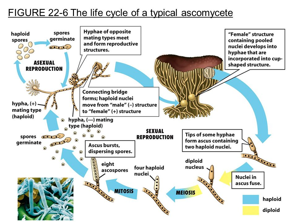 FIGURE 22-6 The life cycle of a typical ascomycete