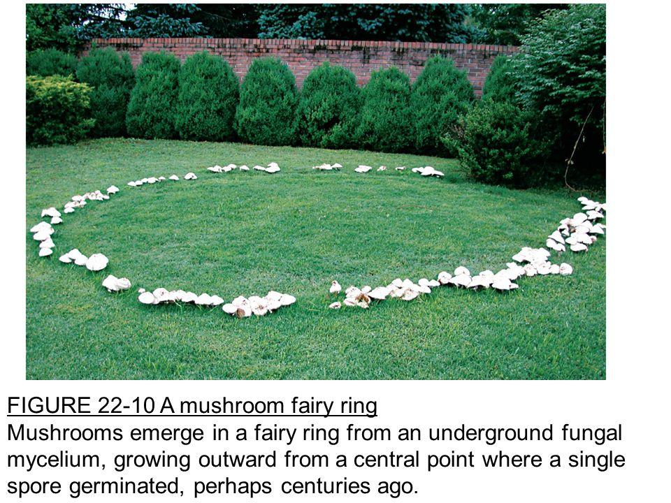 FIGURE 22-10 A mushroom fairy ring