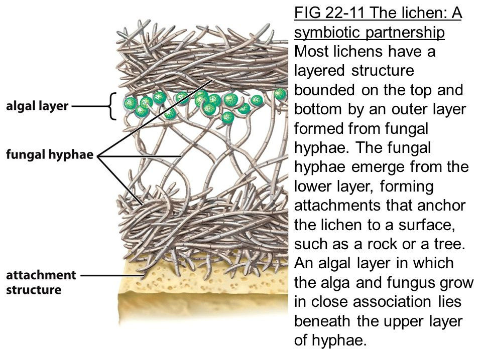 FIG 22-11 The lichen: A symbiotic partnership