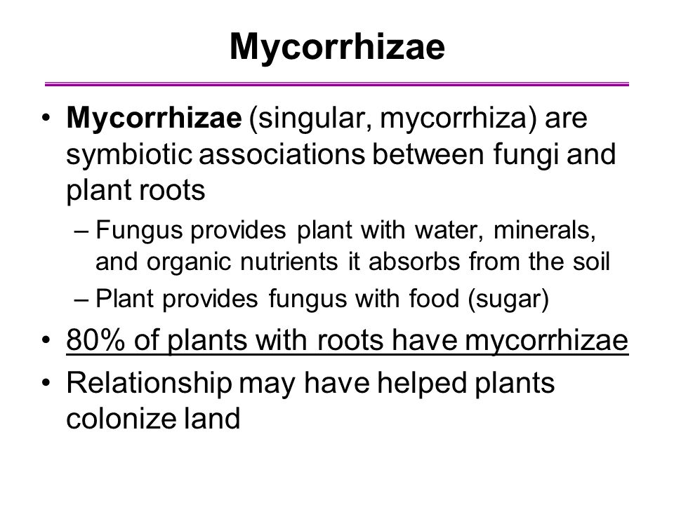 Mycorrhizae Mycorrhizae (singular, mycorrhiza) are symbiotic associations between fungi and plant roots.