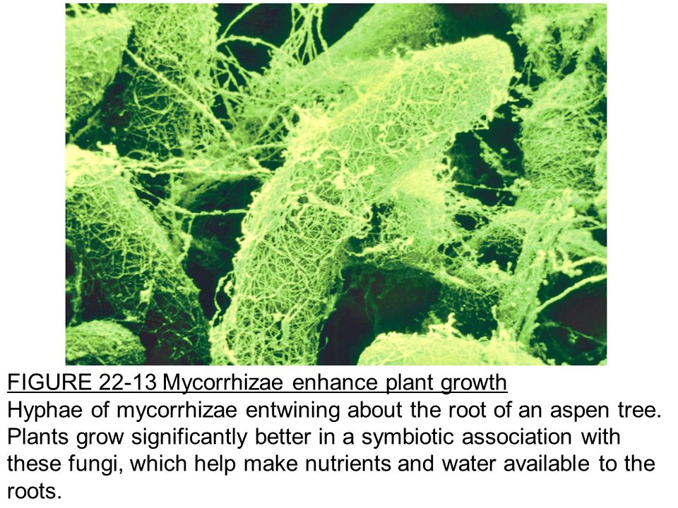 FIGURE 22-13 Mycorrhizae enhance plant growth