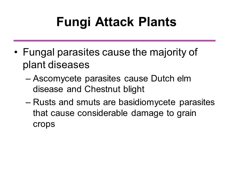 Fungi Attack Plants Fungal parasites cause the majority of plant diseases. Ascomycete parasites cause Dutch elm disease and Chestnut blight.