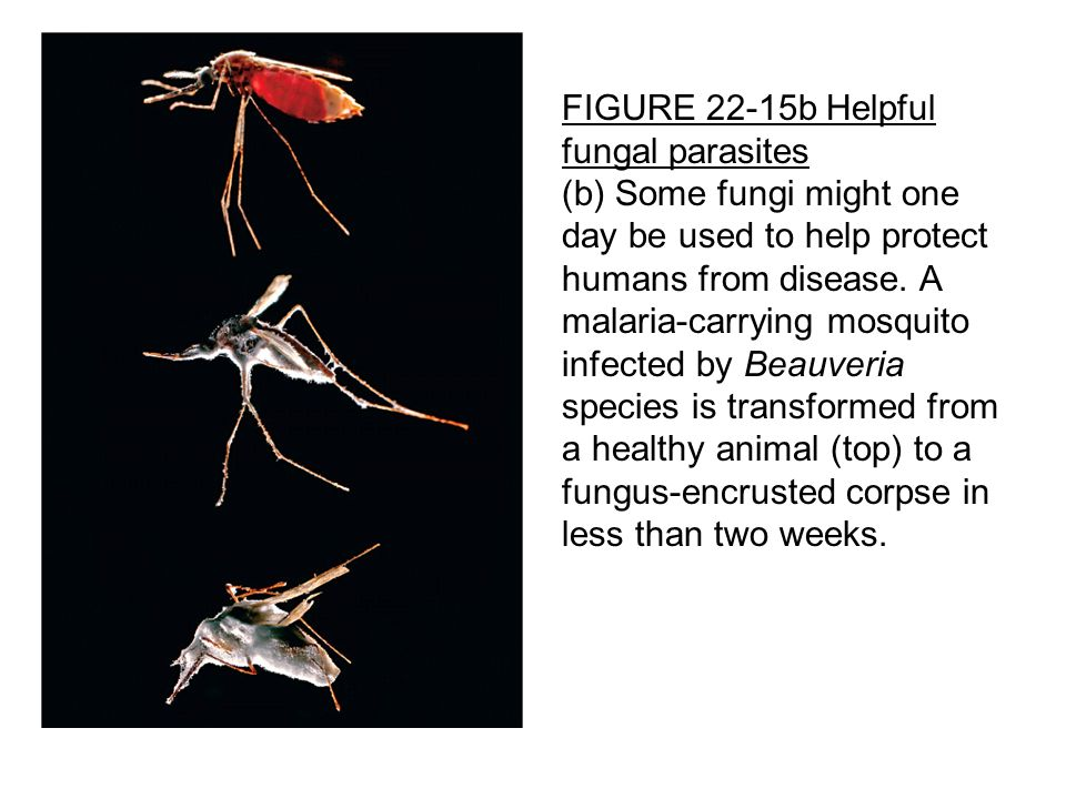 FIGURE 22-15b Helpful fungal parasites