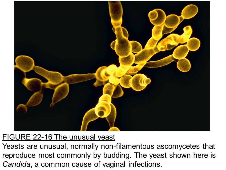 FIGURE 22-16 The unusual yeast