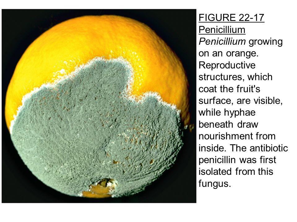 FIGURE 22-17 Penicillium