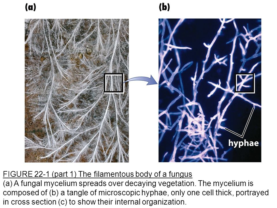 FIGURE 22-1 (part 1) The filamentous body of a fungus