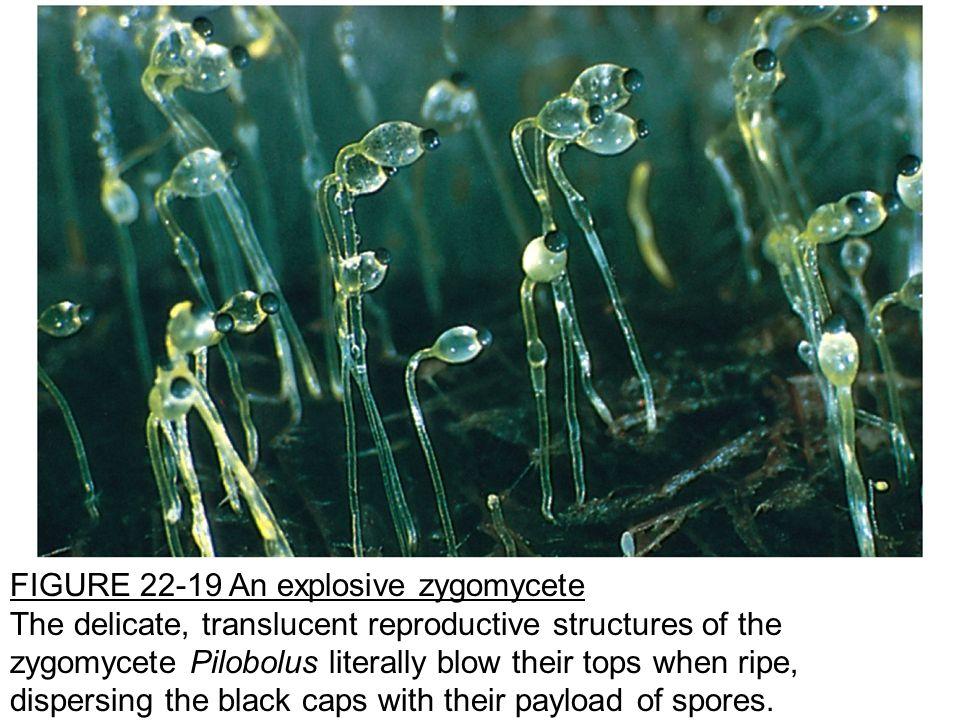FIGURE 22-19 An explosive zygomycete