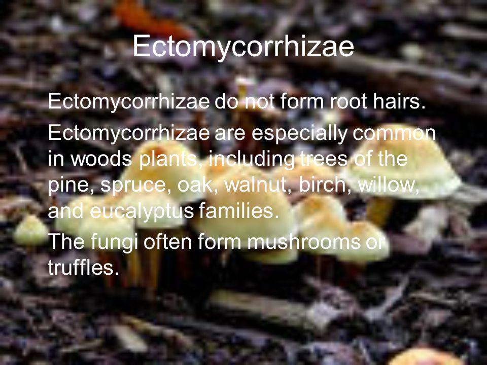 Ectomycorrhizae Ectomycorrhizae do not form root hairs.