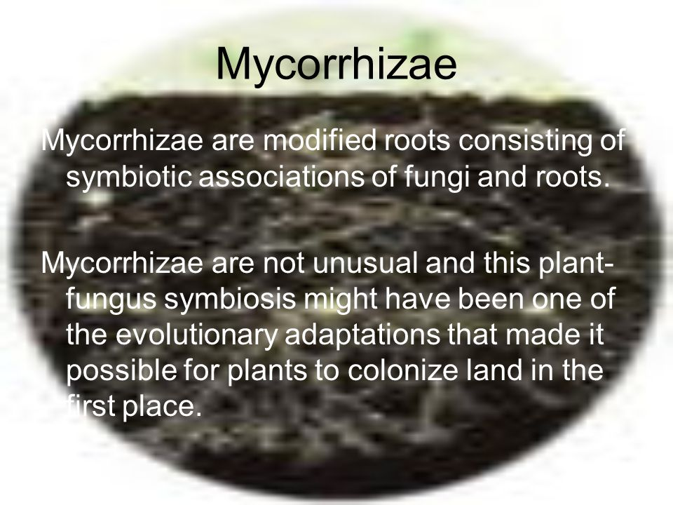 Mycorrhizae Mycorrhizae are modified roots consisting of symbiotic associations of fungi and roots.