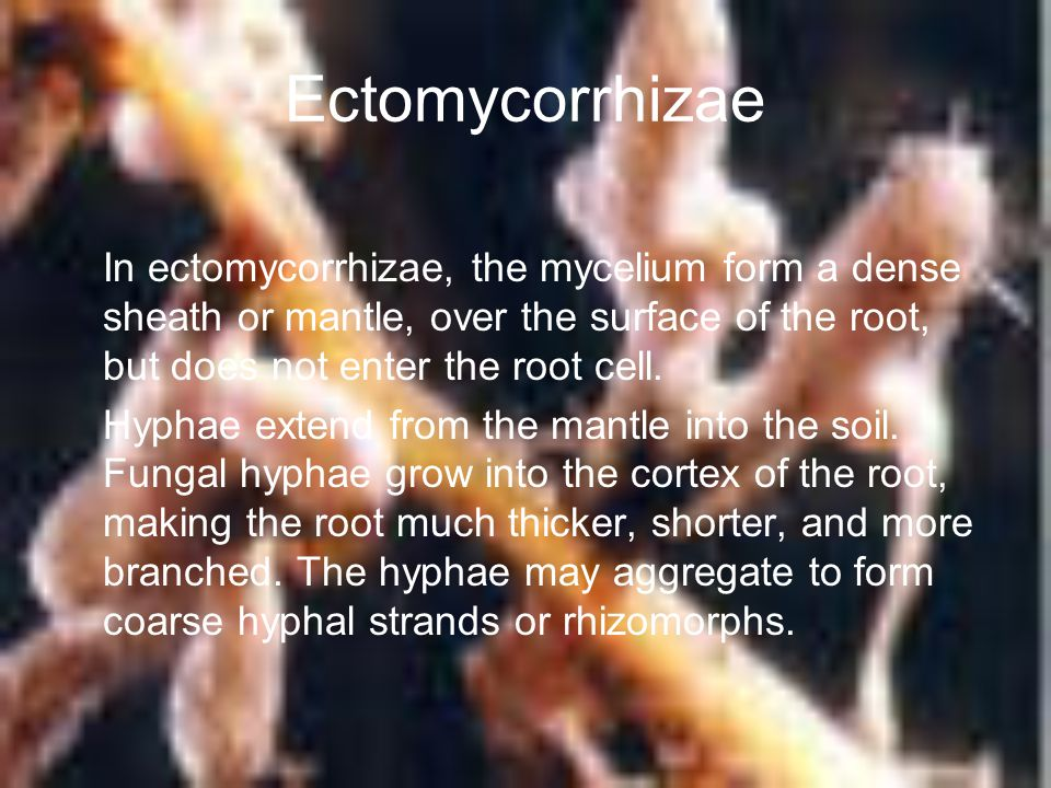 Ectomycorrhizae In ectomycorrhizae, the mycelium form a dense sheath or mantle, over the surface of the root, but does not enter the root cell.