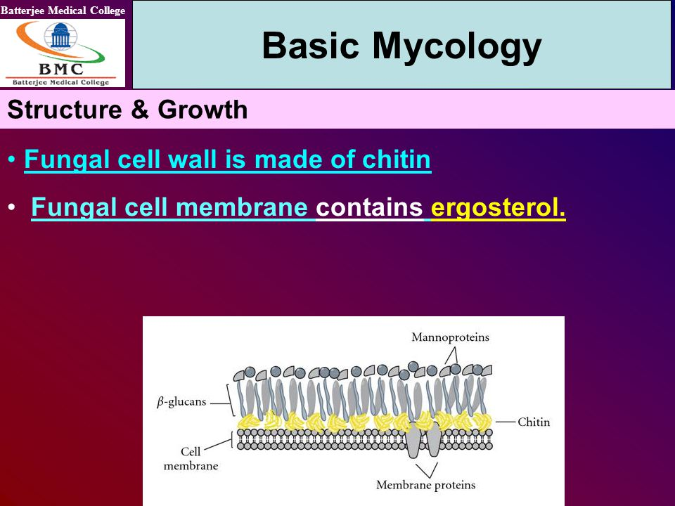 Basic Mycology Structure & Growth Fungal cell wall is made of chitin