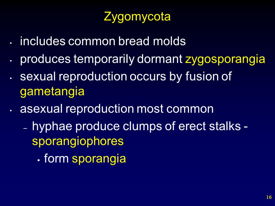 Zygomycota includes common bread molds. produces temporarily dormant zygosporangia. sexual reproduction occurs by fusion of gametangia.