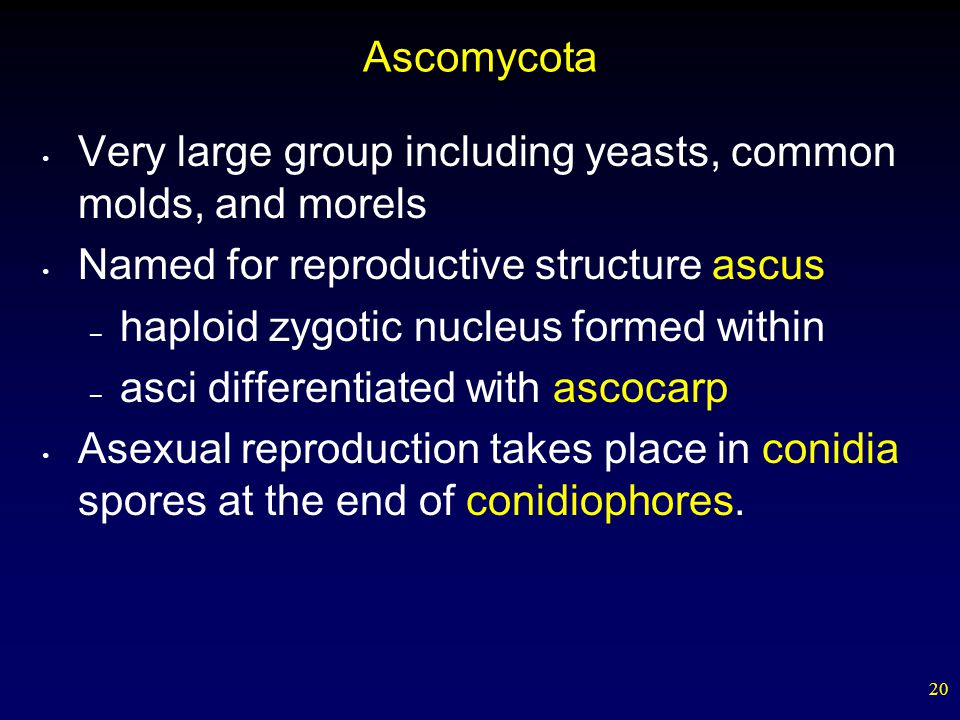 Ascomycota Very large group including yeasts, common molds, and morels. Named for reproductive structure ascus.