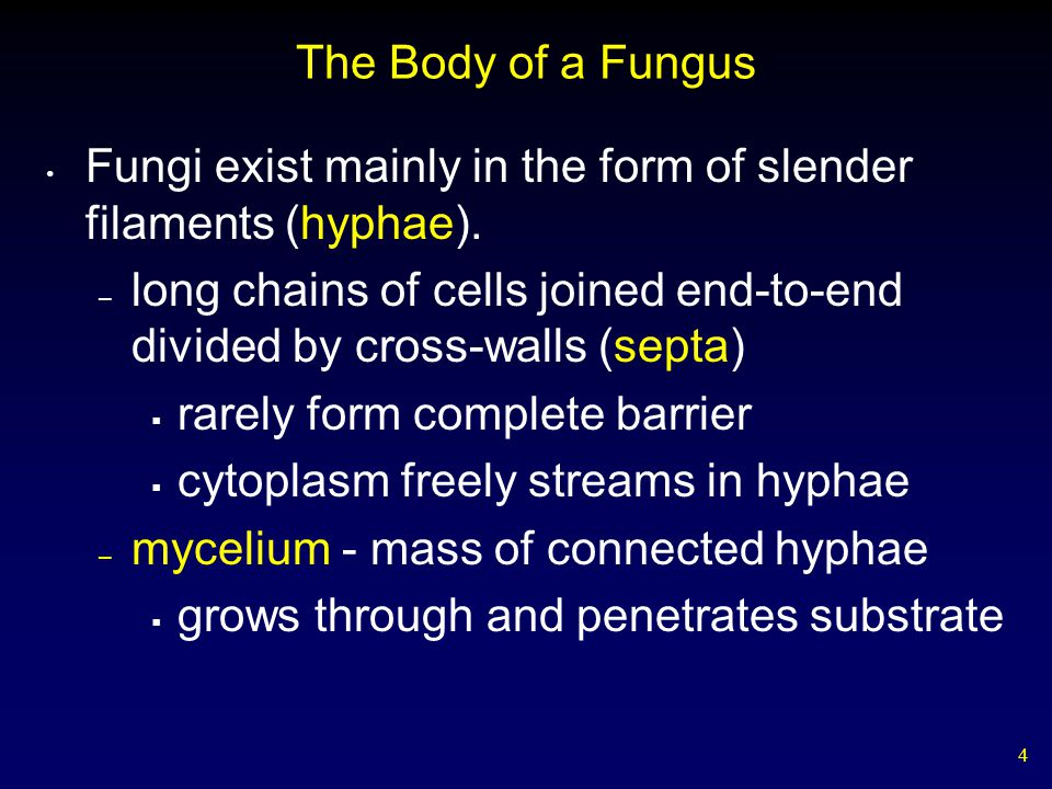 The Body of a Fungus Fungi exist mainly in the form of slender filaments (hyphae).