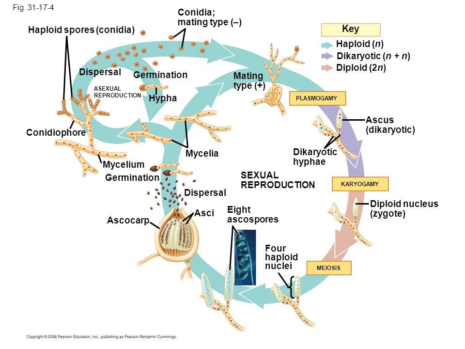 Key Conidia; mating type (–) Haploid spores (conidia) Haploid (n)