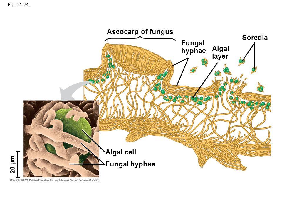 Ascocarp of fungus Soredia Fungal hyphae Algal layer Algal cell