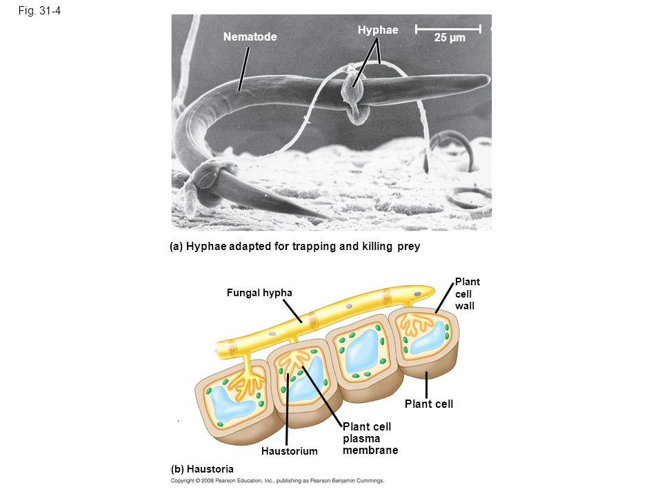 (a) Hyphae adapted for trapping and killing prey