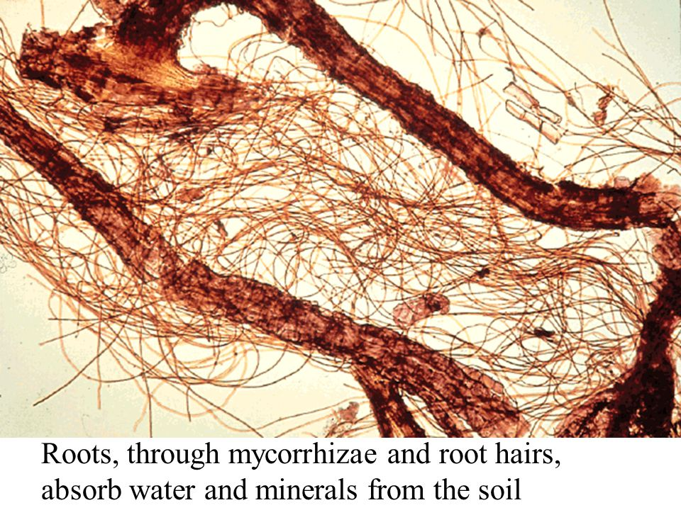 Roots, through mycorrhizae and root hairs, absorb water and minerals from the soil