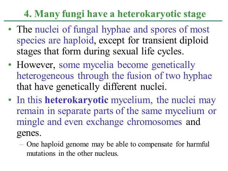 4. Many fungi have a heterokaryotic stage