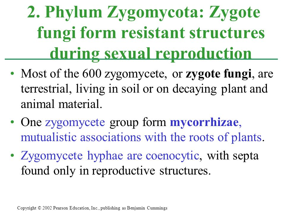 2. Phylum Zygomycota: Zygote fungi form resistant structures during sexual reproduction