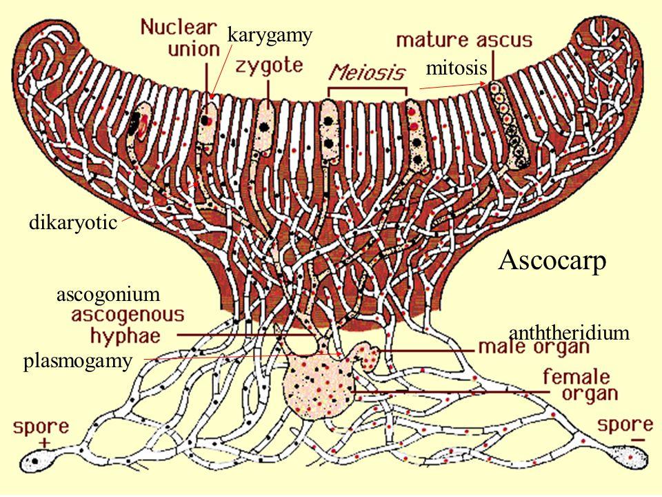 Ascocarp karygamy mitosis dikaryotic ascogonium anththeridium