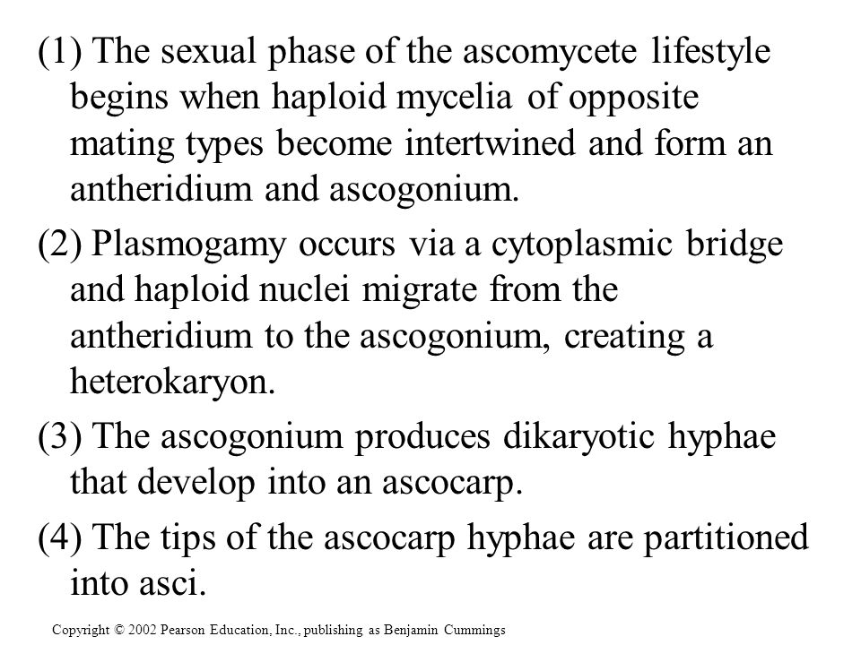 (4) The tips of the ascocarp hyphae are partitioned into asci.