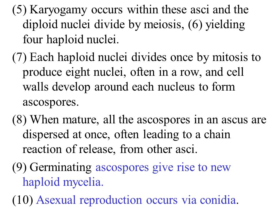 (5) Karyogamy occurs within these asci and the diploid nuclei divide by meiosis, (6) yielding four haploid nuclei.