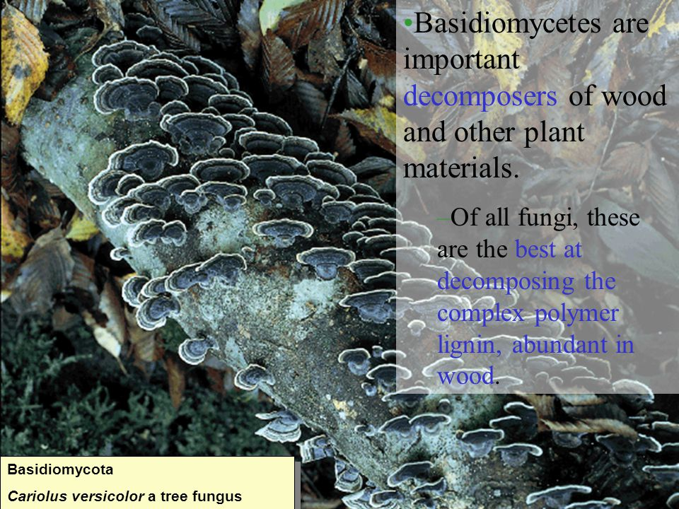Basidiomycetes are important decomposers of wood and other plant materials.