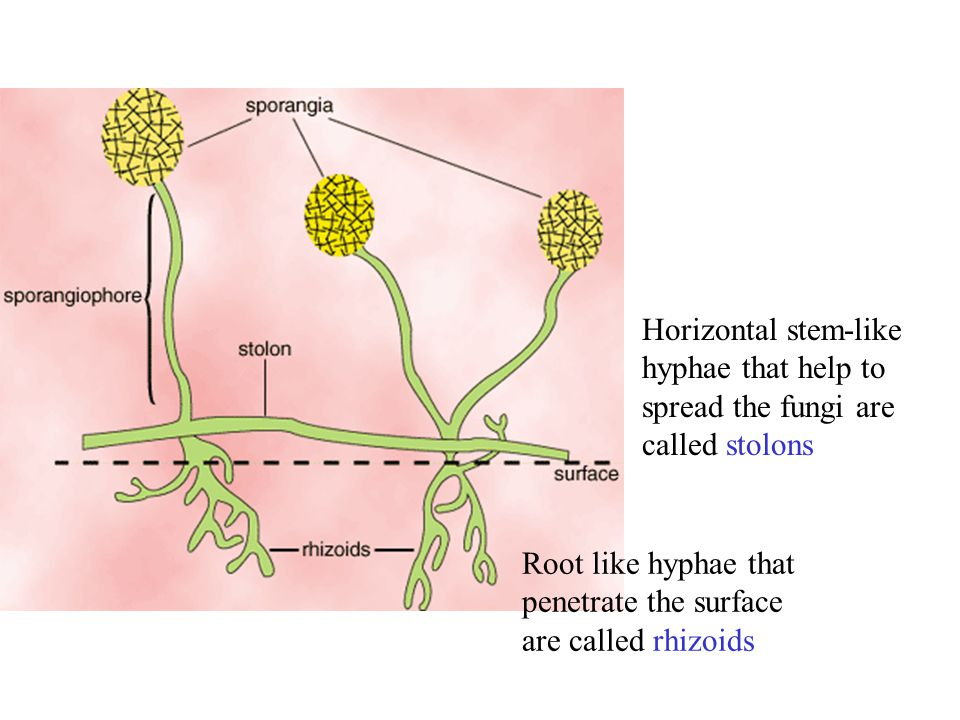 Horizontal stem-like hyphae that help to spread the fungi are called stolons