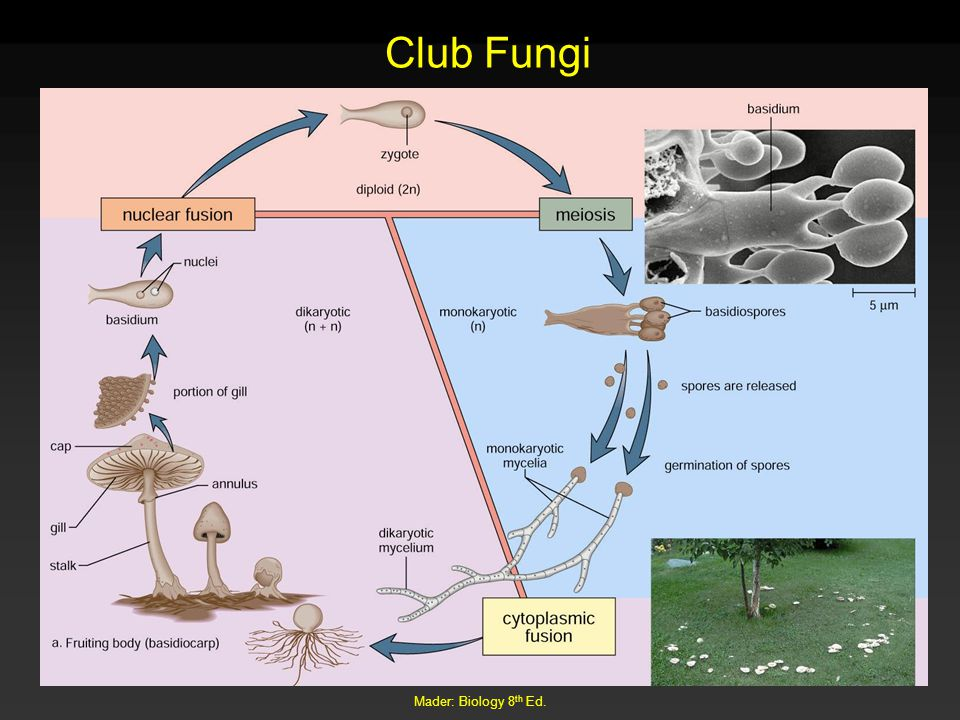 Club Fungi Mader: Biology 8th Ed.