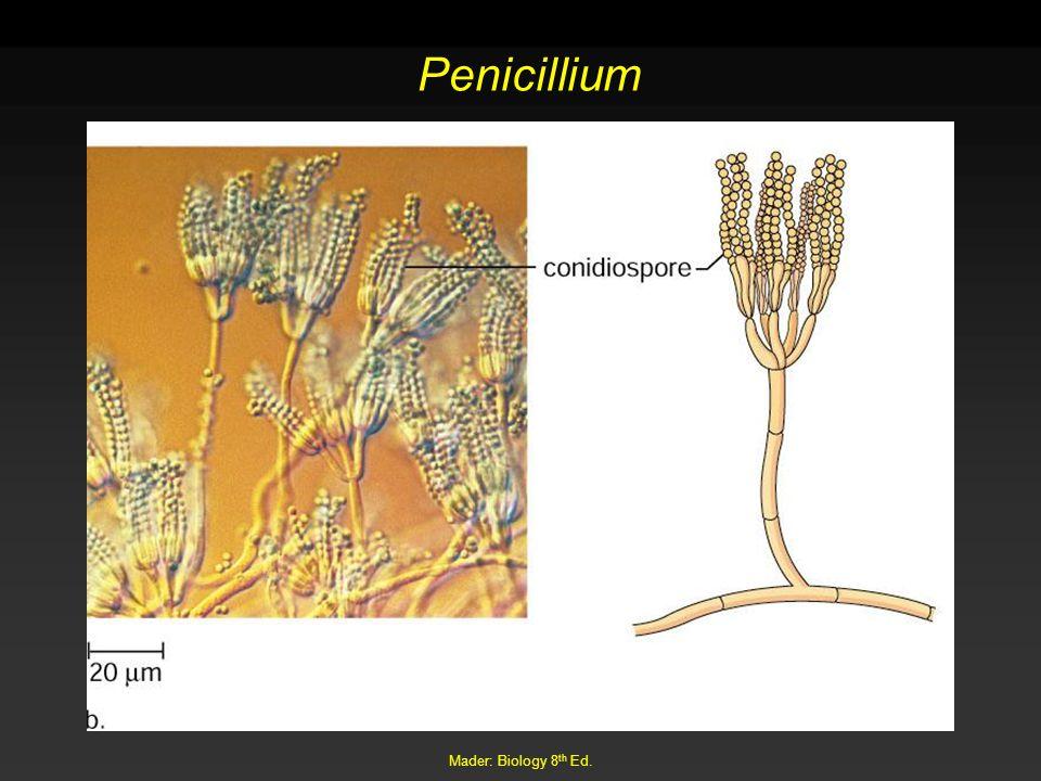 Penicillium Mader: Biology 8th Ed.