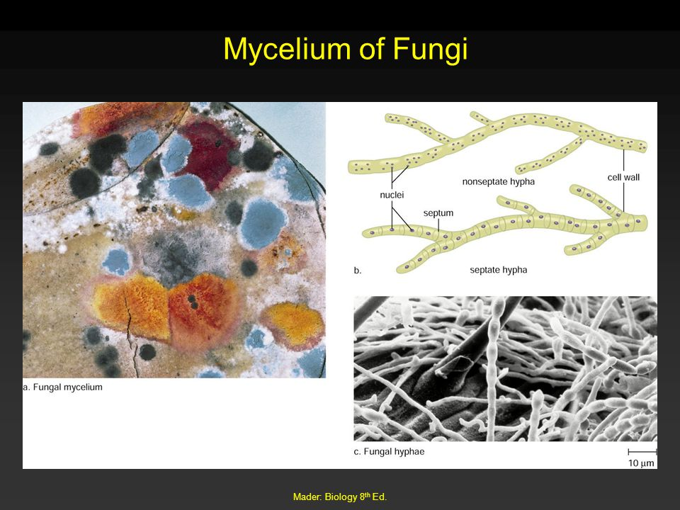 Mycelium of Fungi Mader: Biology 8th Ed.