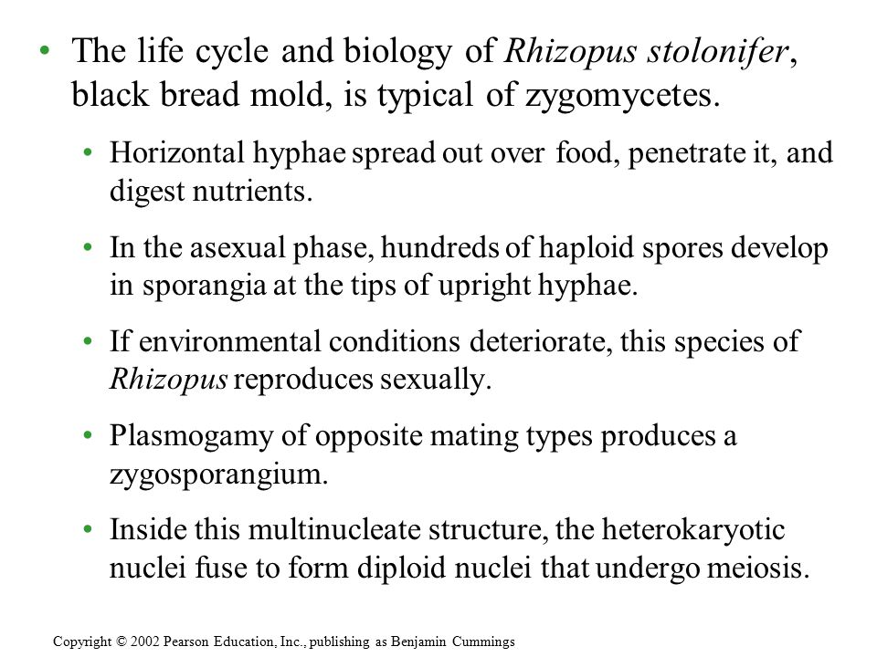 The life cycle and biology of Rhizopus stolonifer, black bread mold, is typical of zygomycetes.