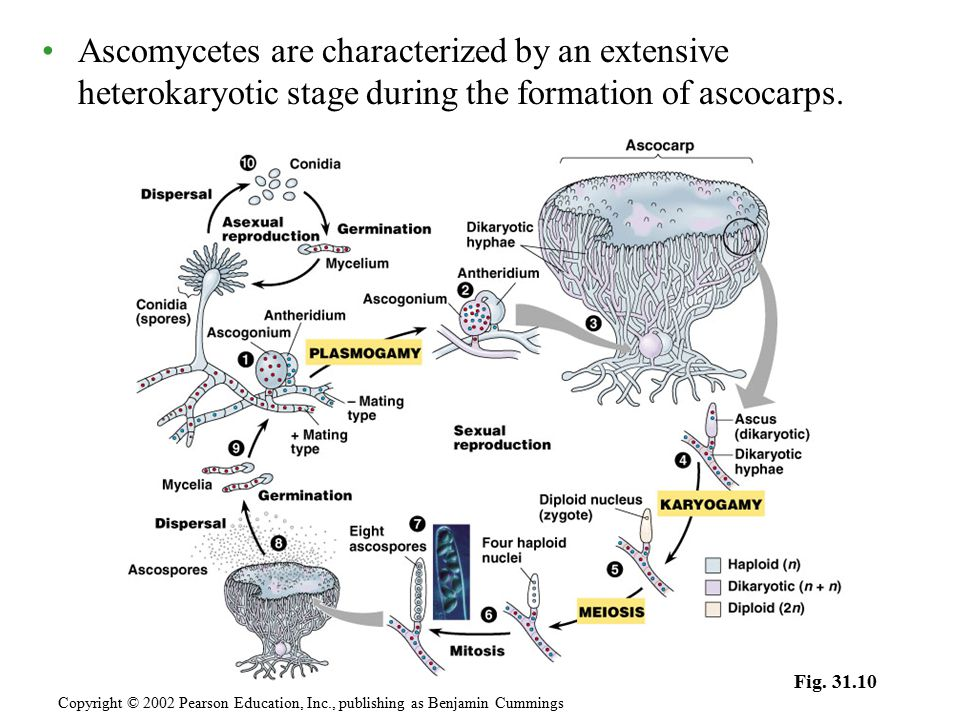 Ascomycetes are characterized by an extensive heterokaryotic stage during the formation of ascocarps.