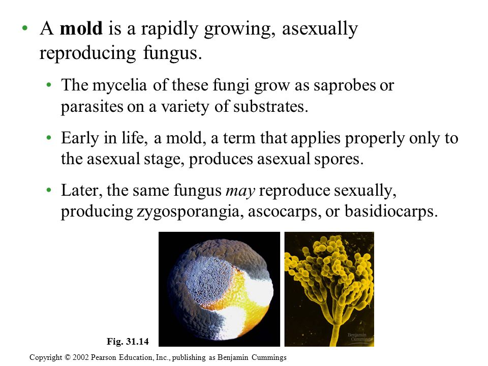 A mold is a rapidly growing, asexually reproducing fungus.