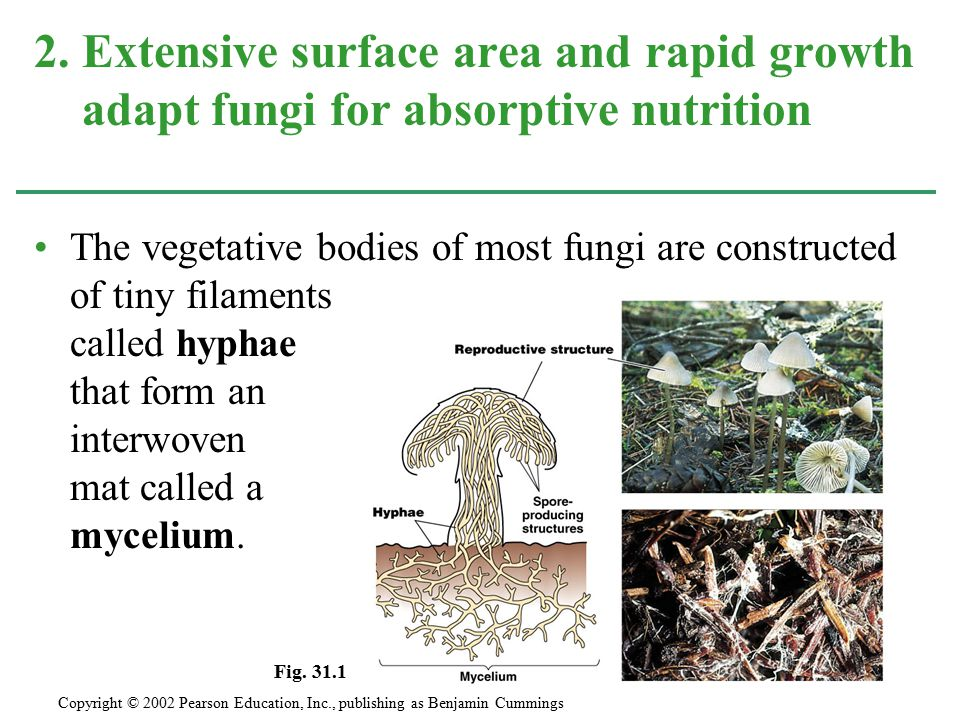 2. Extensive surface area and rapid growth adapt fungi for absorptive nutrition