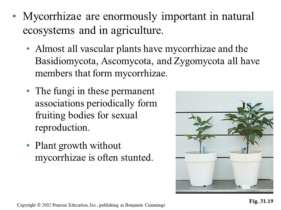 Mycorrhizae are enormously important in natural ecosystems and in agriculture.
