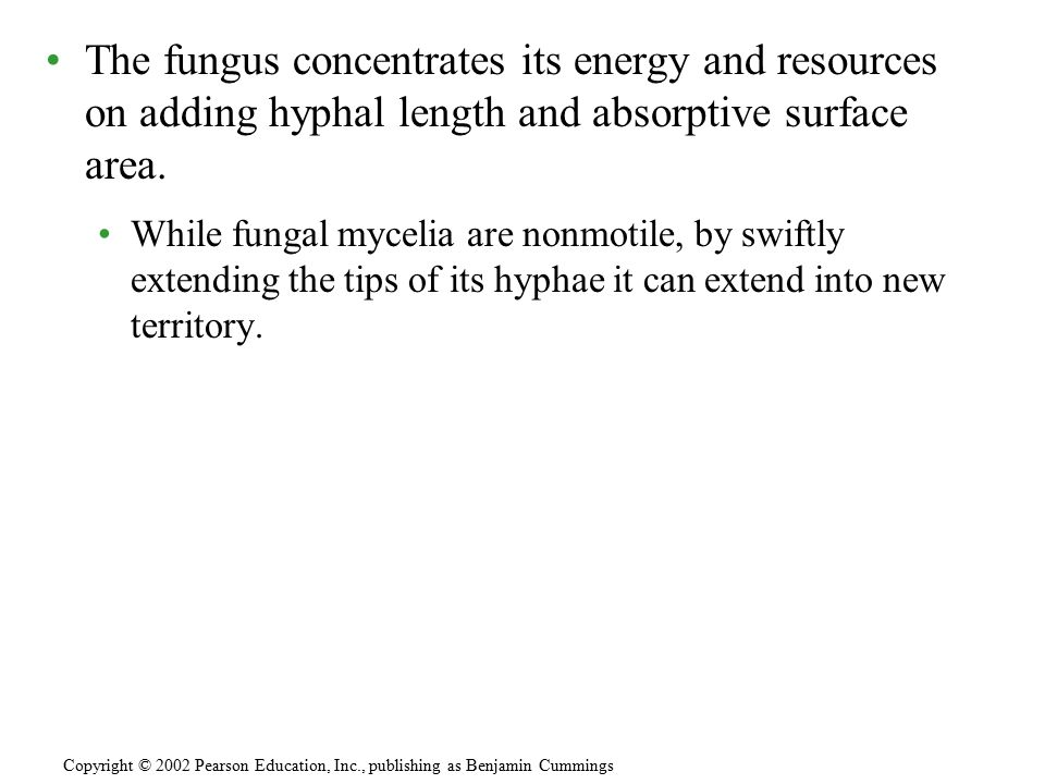 The fungus concentrates its energy and resources on adding hyphal length and absorptive surface area.