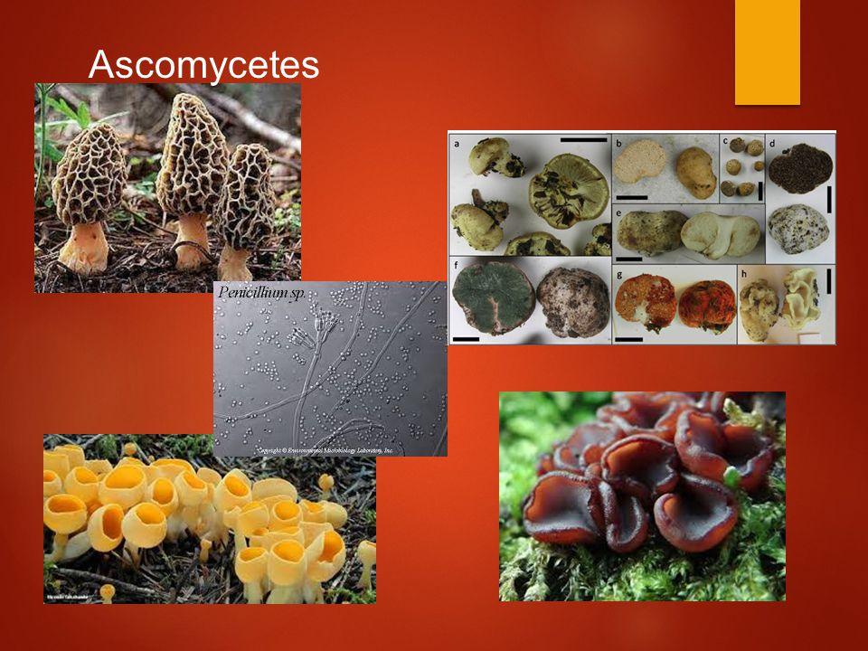 Ascomycetes Figure 31.16 Ascomycetes (sac fungi).