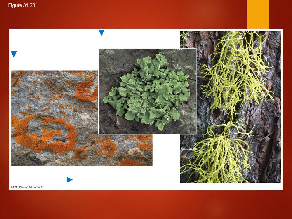 A foliose (leaflike) lichen