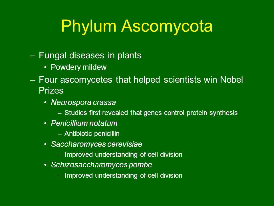Phylum Ascomycota Fungal diseases in plants