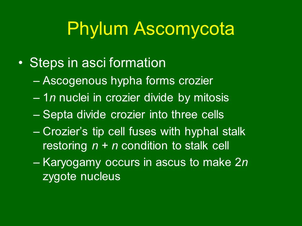 Phylum Ascomycota Steps in asci formation