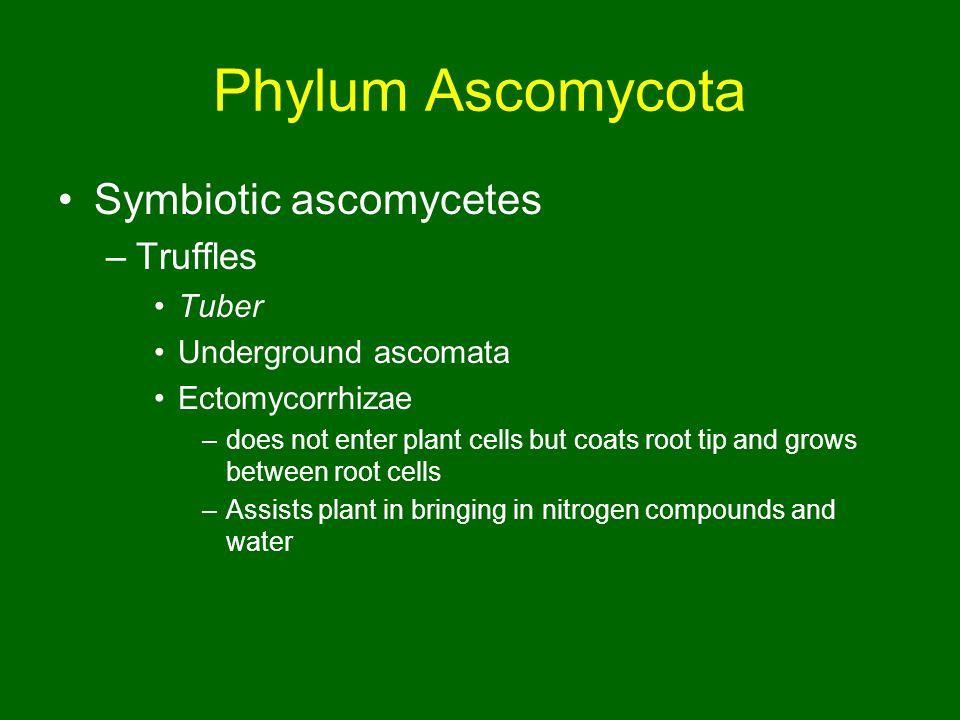 Phylum Ascomycota Symbiotic ascomycetes Truffles Tuber