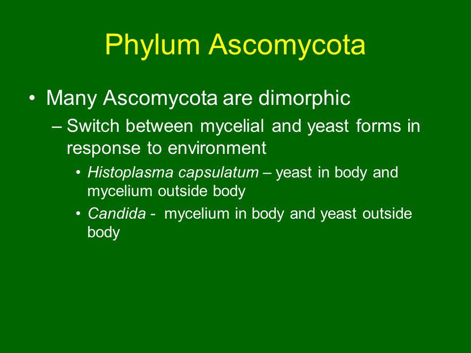 Phylum Ascomycota Many Ascomycota are dimorphic
