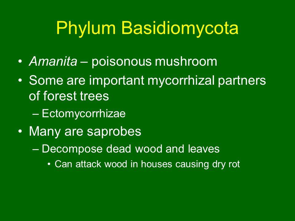 Phylum Basidiomycota Amanita – poisonous mushroom