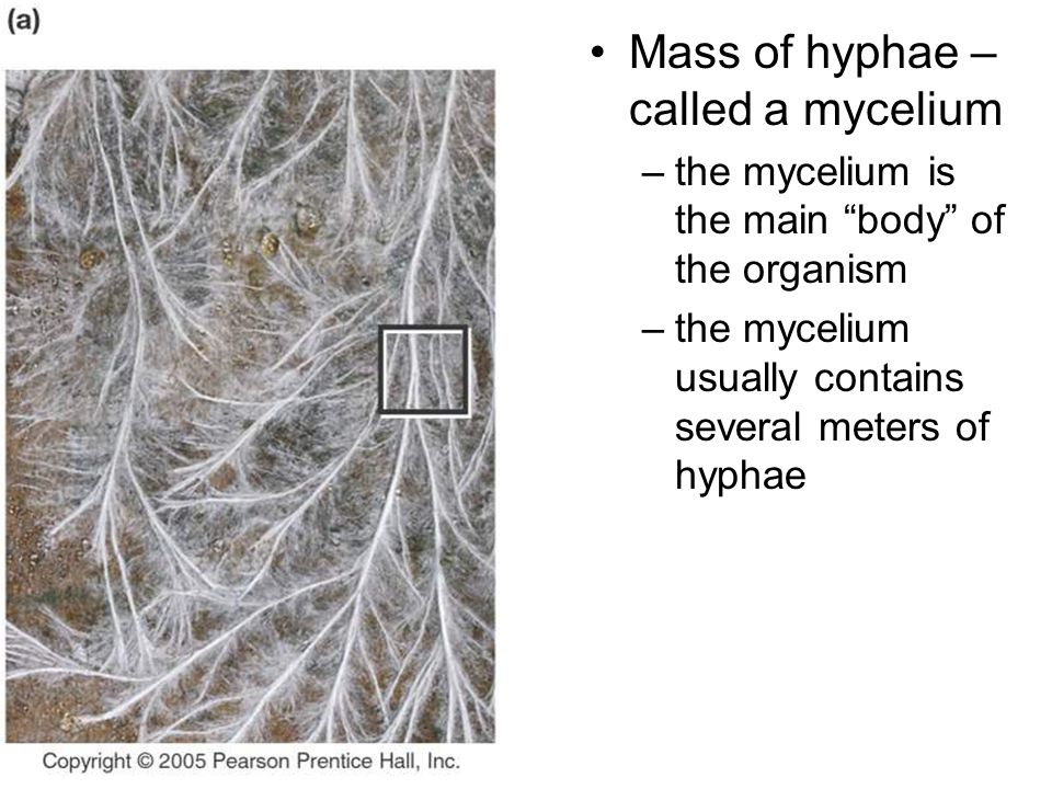 Mass of hyphae – called a mycelium