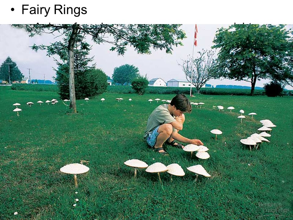 Fairy Rings A ring of mushrooms may appear overnight.